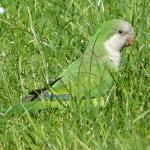 monniksparkiet in het gras, mei 2014