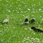 monniksparkieten in het gras, mei 2014