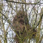 nest aan de Pinksterbloem, februart 2015