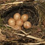 roodborstnest met eieren